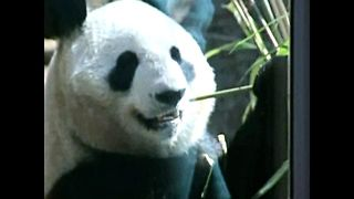Giant Pandas Make Tokyo Debut - Video