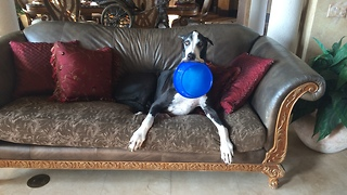 Funny Great Dane carries dog bowl around the house