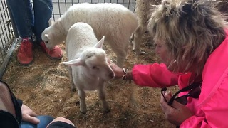 Adorable lamb tries to steal woman's bracelet  - Video