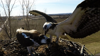 GoPro in nest captures Osprey delivering fish to his mate - Video