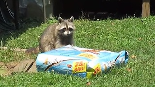 Hungry Raccoon Slowly Takes 28 Pounds Of Cat Food To His Hiding Place  - Video
