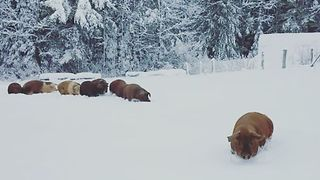 Pigs Trudge Through Deep Maine Snow - Video