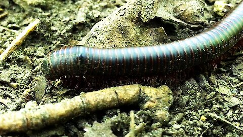Close-up look at millipede's mesmerizing leg movement