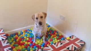 Homemade ball pit is dog's dream come true!