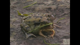 Three-Headed Frog - Video