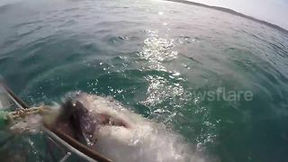 Great White Shark Gets Aggressive Near Shark Cage Off South Africa - Video