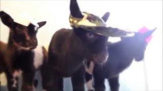 Triplet and Twin Goats Meet for the First Time - Video