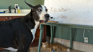 Great Dane whines and squeaks to the cat about the mouse toy - Video
