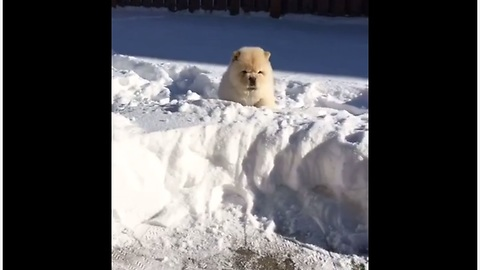 Chow chow puppy plays in very deep snow