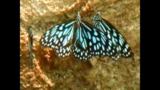 Indian Butterfly Migration