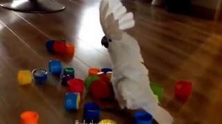 Kung Fu Cockatoo Shows Cup Tower Who's Boss - Video