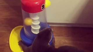 Smart Otter Knows How To Play With His Educational Toy - Video