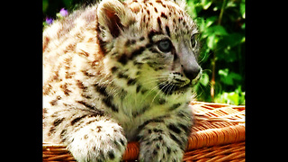 CUTE Baby Snow Leopard - Video