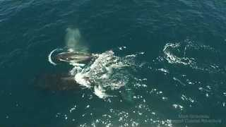Aerial Footage Shows Humpback Whales Near Newport Beach - Video
