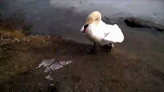 Why You Should Never Mess With A Swan - Video
