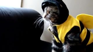 Epic fail for cat's bumble bee Halloween costume - Video