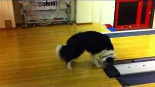 Bowling Alley Buzzer Freaks Dog Out - Video