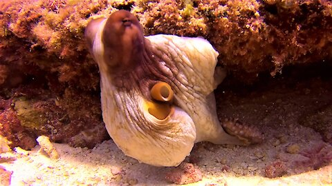 Octopus leaves his lair to mate with nearby female
