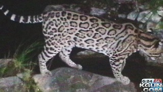 U.S., Mexico wildlife officials draft recovery plan for jaguar - Video