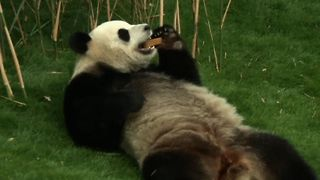 Relaxing Giant Panda Shows Off - Video
