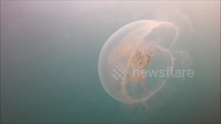 Heat wave brings moon jellyfish to Cornish coasts - Video