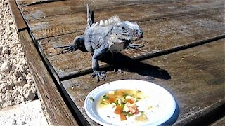 Iguana gets regular treats from the man who rescued him long ago
