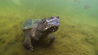 Huge snapping turtle comes when beckoned - Video