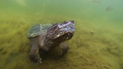 Huge snapping turtle comes when beckoned