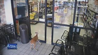 Deer walks through Festival Foods store - Video