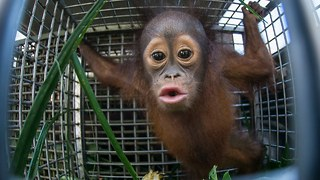 Cute Baby Orangutan And Mother Released After Rescue - Video