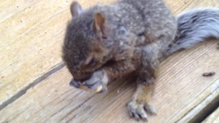 Lost And Hungry Baby Squirrel Enjoys The Taste Of Walnut - Video