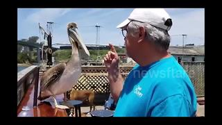 Hungry pelican snaps at man trying to eat in peace - Video