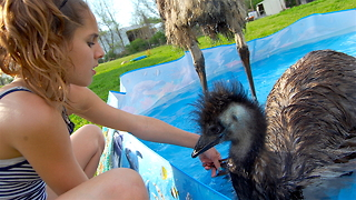 Playful Emus Make The Perfect Family Pets: CUTE AS FLUFF - Video