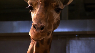 Lonely Giraffes Left Behind In Zoo - Video