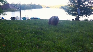 Funny gopher realizes he's secretly being filmed - Video