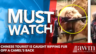 Chinese tourist is caught ripping fur off a camel's back - Video