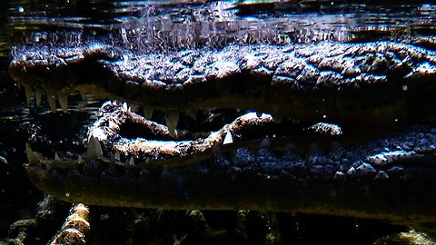 Wild crocodile bares menacing teeth at scuba diver who gets too close