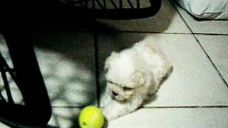 Tiny Maltese Puppy Not Sure What to Do With Ball - Video