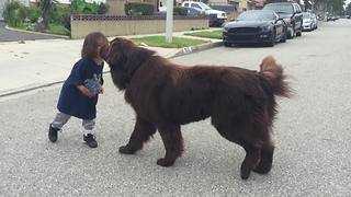 Newfoundland Gives Good Luck Kisses Before Toddlers Big Game