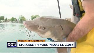 Sturgeon thriving in Lake St. Clair - Video