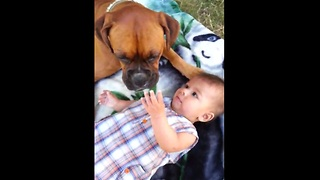 Boxer dog kisses adorable baby