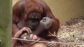 Orangutan mom playfully punches her baby's head - Video