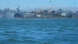Kayakers Spot Whales Feeding in San Francisco Bay - Video