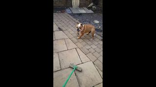 Bulldog hates broomstick and tries to attack it - Video