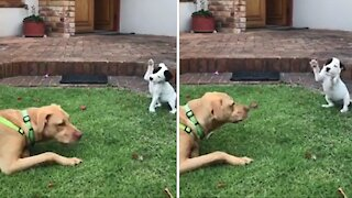 Precious little puppy meets bigger doggy for the first time
