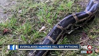 Hunters have killed 500 pythons - Video