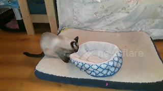 Cat drags bed around house looking for a quiet place to sleep - Video