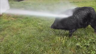 Pig loves being blasted with jet wash