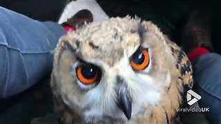 Just a cute owl cruising in the front seat - Video