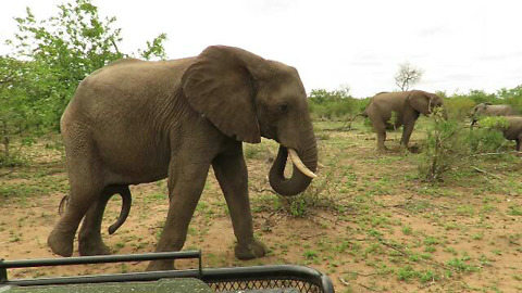 Elephant with Five Legs Approach Safari Vehicle
